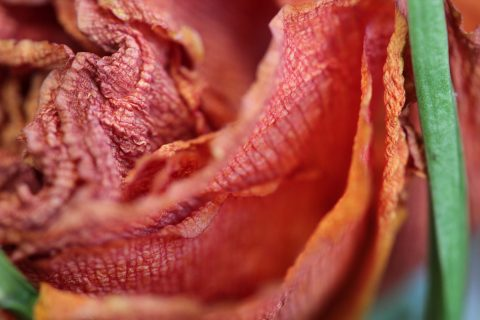 directARTS_Photography_Macro_Red_Layers_2018